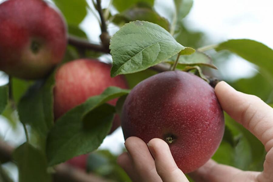 найдёте множество яблоня краса свердловска описание фото отзывы нашими выкройками