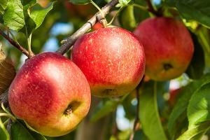 Яблоня Красавец – уралец Осенняя