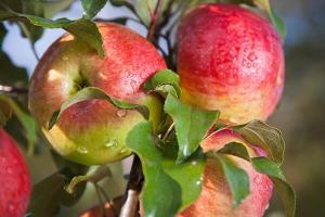 Яблоня Мельба Летняя