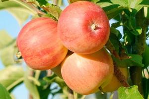 Яблоня Уральское розовое Летняя