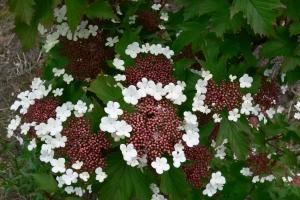 Калина садовая Онондага