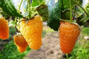 Малина ремонтантная Оранжевое Чудо