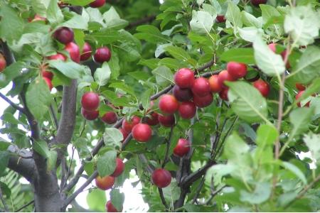 Сливо-вишневый гибрид Бета