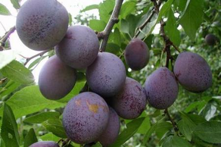 Сливо-вишневый гибрид Майнер