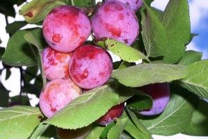 Сливо-вишневый гибрид Опата