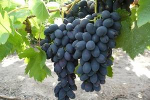 Виноград кишмиш Чёрный палец
