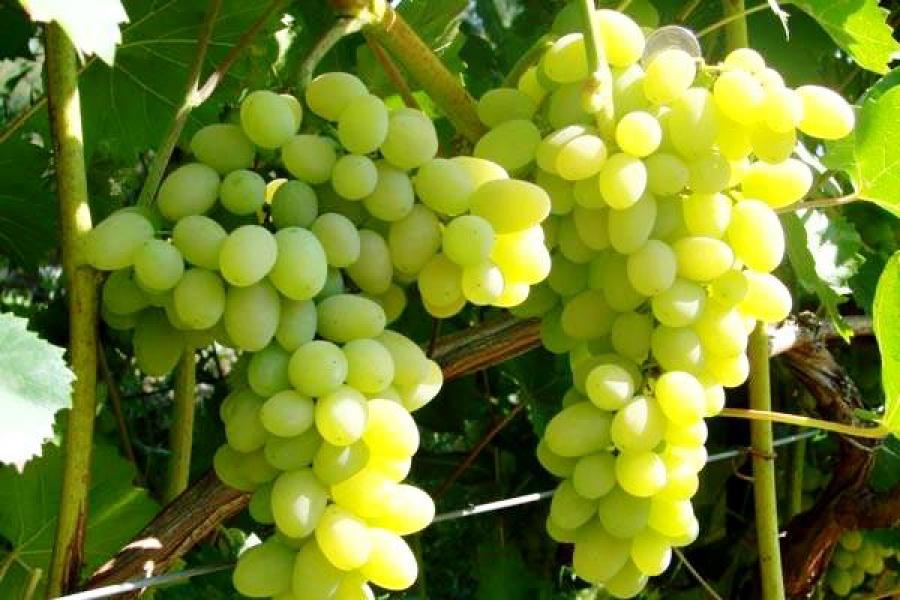 фото виноград картинки