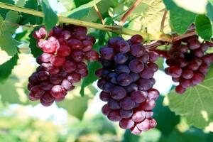 Виноград Абу Хасан