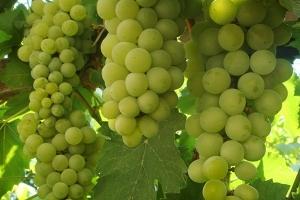 Виноград Башкирский изумруд