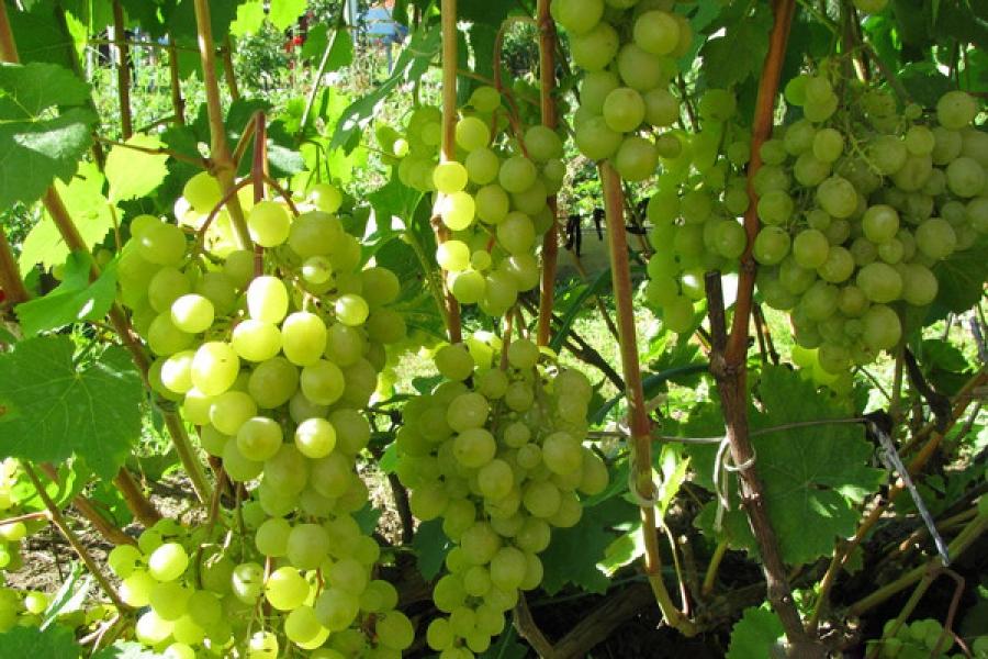 Сорта винограда для севера