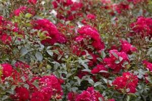 Роза Альберих