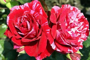 Роза Абракадабра