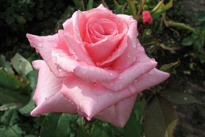Роза Эйфелева башня