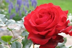 Роза Гранд Гала