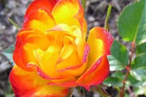 Роза Колибри