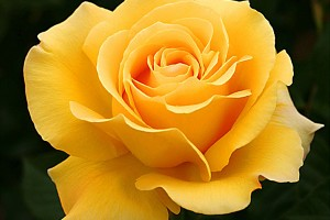 Роза Папиллон