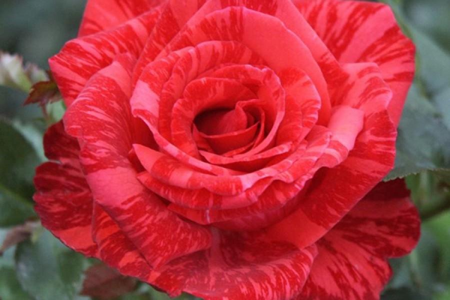 роза сорт ред интуишн фото
