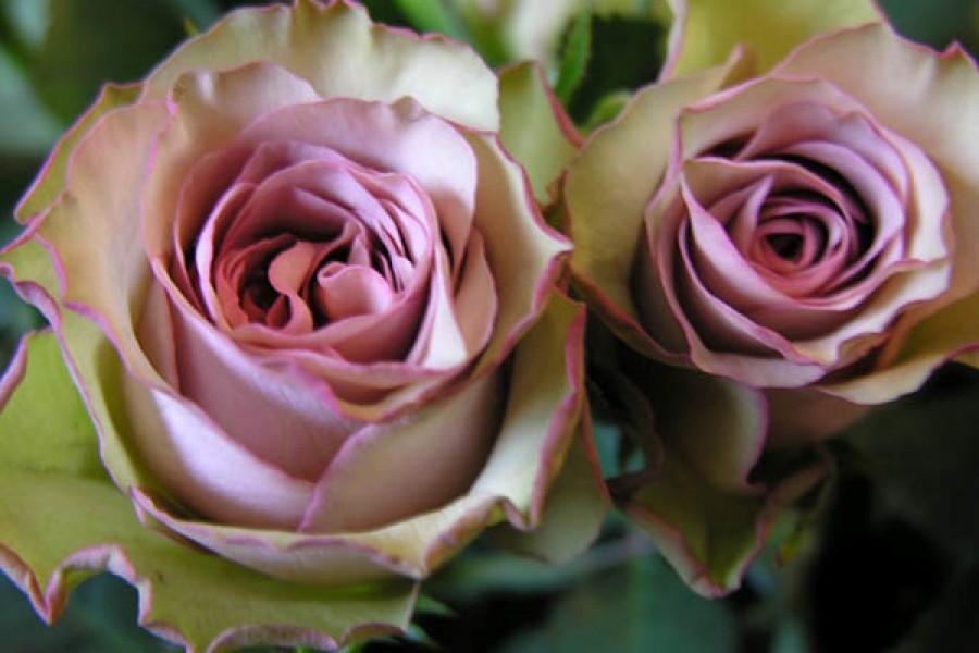 роза валентина фото и описание