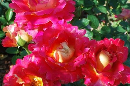 Роза Арлекин декор