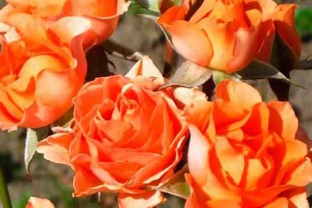Роза Бейби Оранж