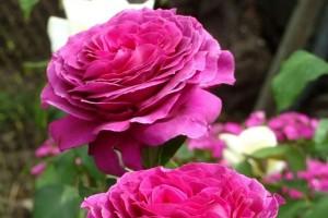 Роза Биг Пепл