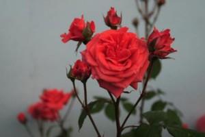 Роза Даллас