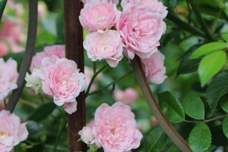 Роза Фери Тангелия