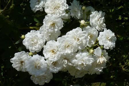 Роза Гирлянд де Амур