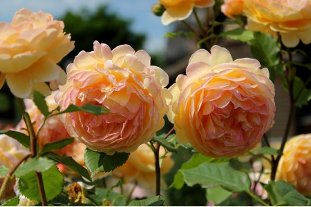 Роза Голден