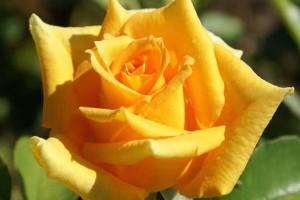 Роза Голден Моника