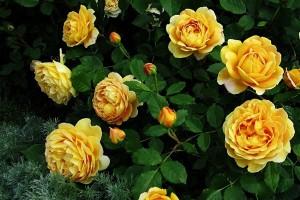 Роза Голден Селебрейшен