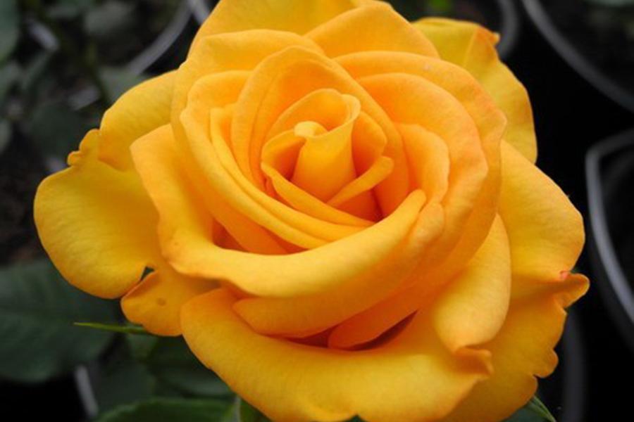 Розы в дизайне сада