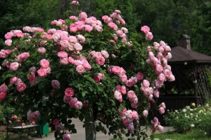 Роза колоновидная Розовая
