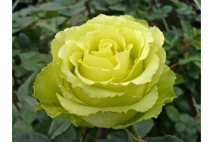 Роза Доллар