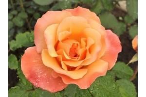 Роза Лолита