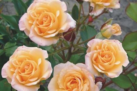 Роза Макарена