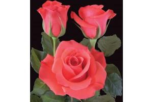 Роза Манита