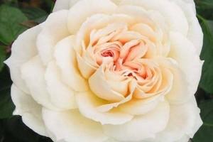 Роза Монд Жарден