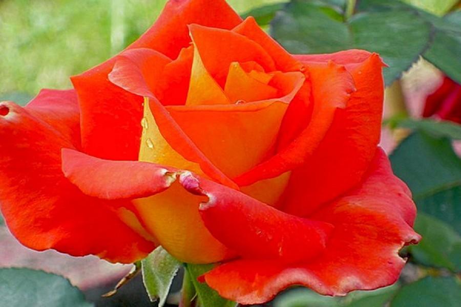 как многие, роза моника фото отзывы деревень вдоль трассы