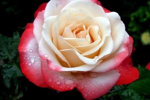 Роза Ностальжи