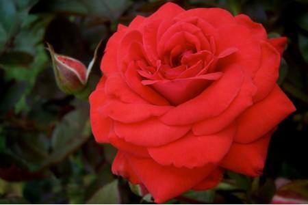 Роза Оклахома