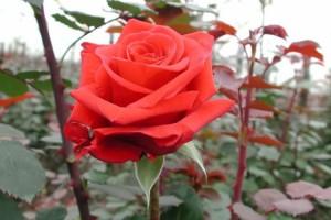 Роза Ред Берлин