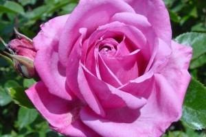 Роза Шокинг Блу