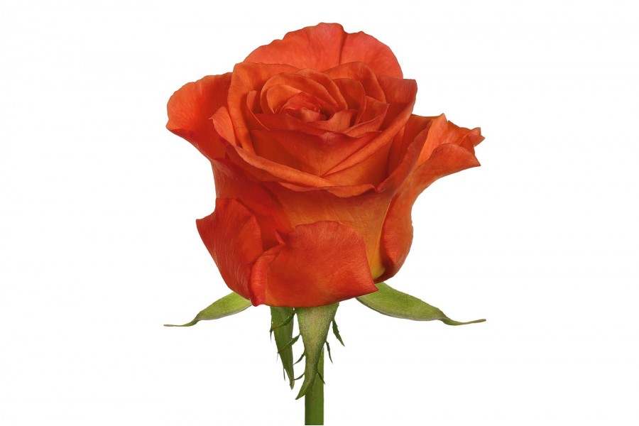 розы спутник фото