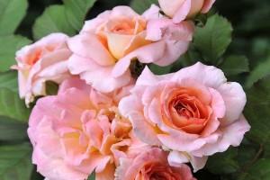 Роза Валентина