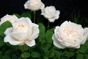 Роза Винчестер Кафедрал