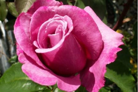 Роза Зидиак леди