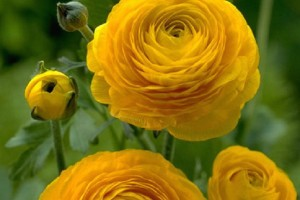 Ранункулюс Жёлтый