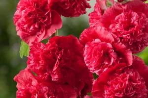 Шток-роза Скарлет (Alcea Rosea Scarlett)