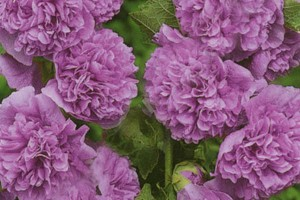 Шток-роза Виолет (Alcea Rosea Violet)